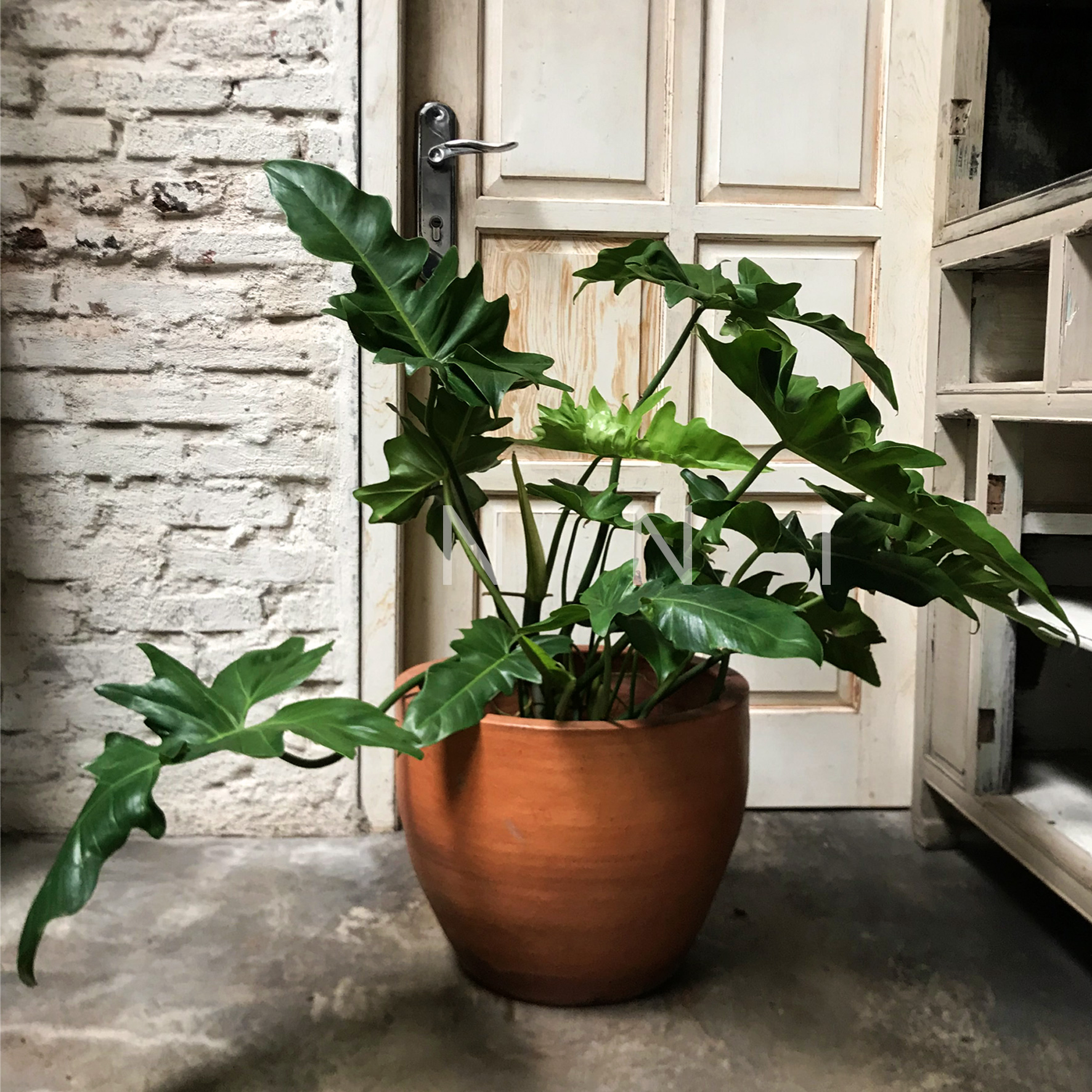 Philodendron Dragon