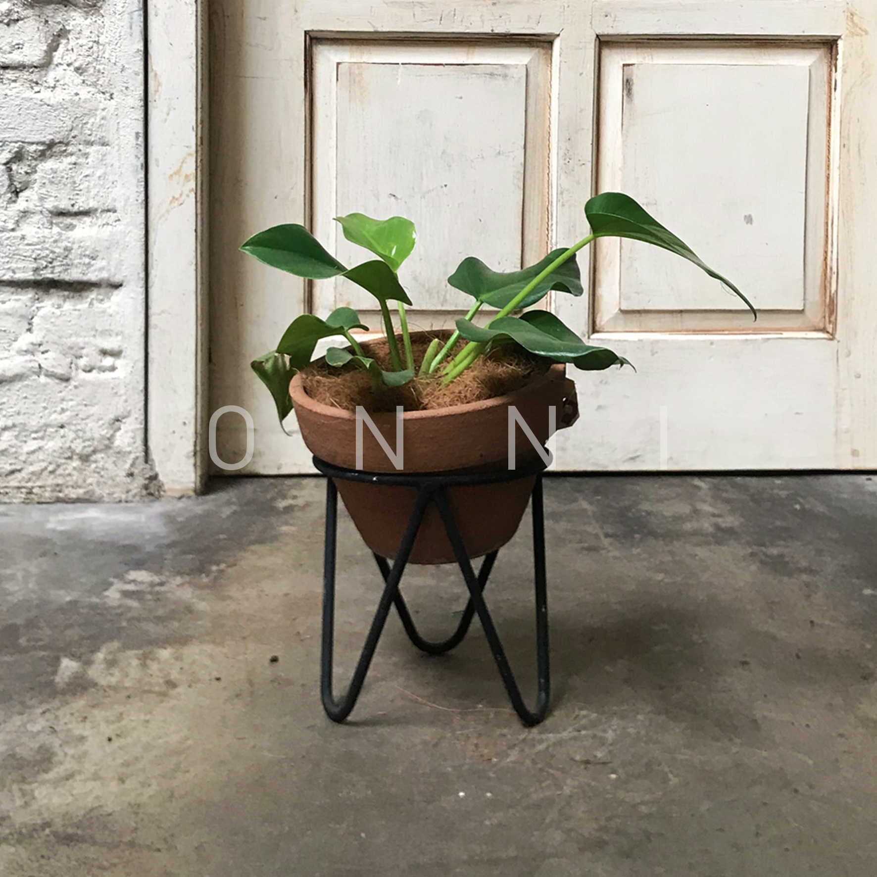 Philodendron Marble (Small)